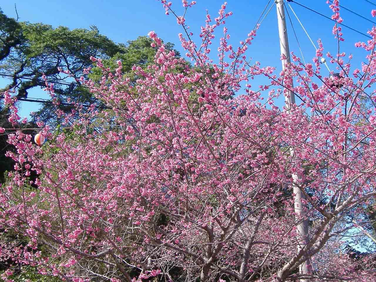 桜本島本部八重岳50090118.JPG