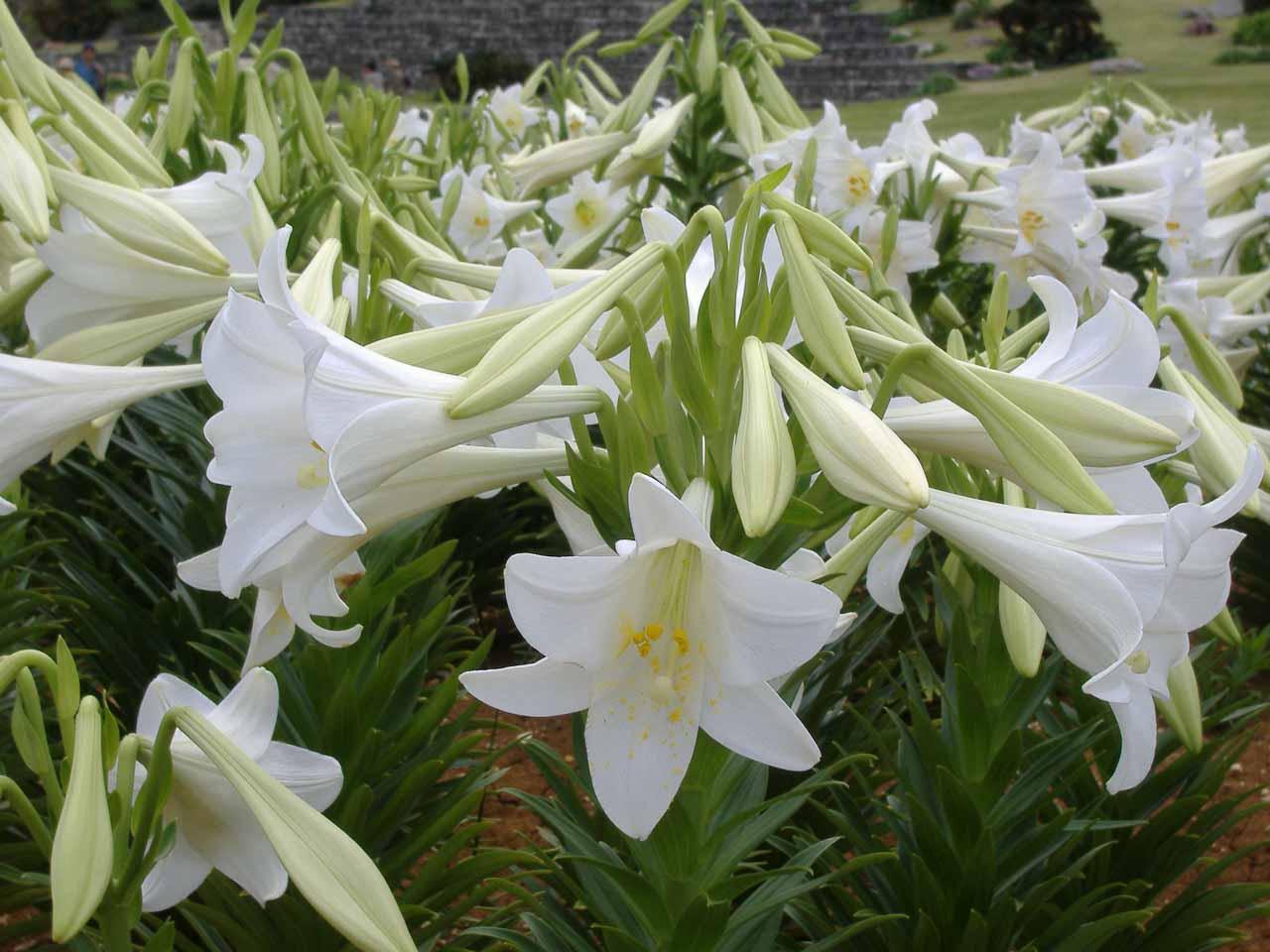 blog花リリーフィールド公園ユリ14080422.jpg