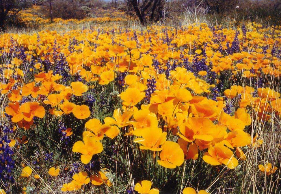 アリゾナの花-1.jpg