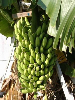 県営アパートのバナナ0811290007.JPG